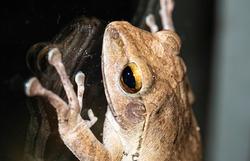 closeup shot of common bush frog rest on glass window
