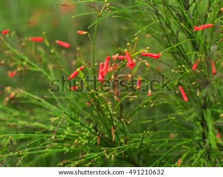 closeup shot of fountainbush, firecracker plant, coral plant, coral fountain, coralblow, fountain plant, or Russelia equisetiformis