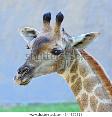 Closeup shot of giraffe