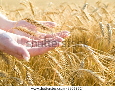 closeup shot of gold wheat at girl's hands