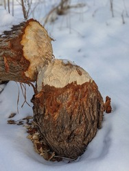 Closeup shot of large tree trunk bark chewed gnawed by beavers in the forest. Sawdust around the tree. Beavers building dam by a creek. Animals, wildlife, rodent control concept.