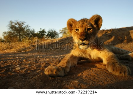 Closeup shot of Lion Cub, Kruger National Park, South Africa