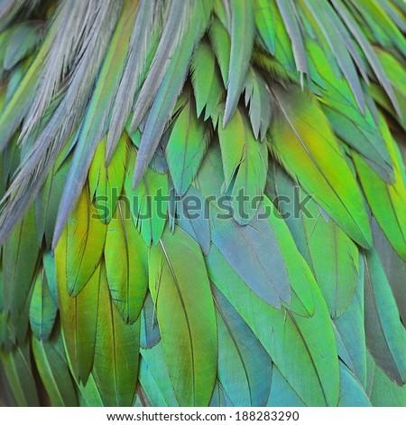 Closeup shot of Nicobar Pigeon feathers background