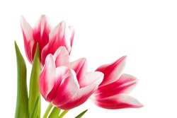 Closeup shot of pink tulips. Isolated on white background.