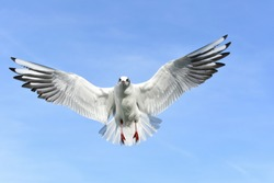 Closeup shot of seagull with wide wings in the sky and looking at camera.