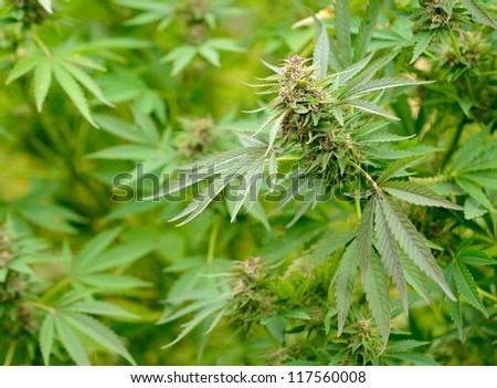 Closeup shot of the green Cannabis plant.