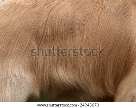 Closeup shot of the surface skin of  a Golden Retriever.