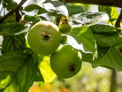 Closeup shot of unripe, green apples in the branches of the apple tree in orchard