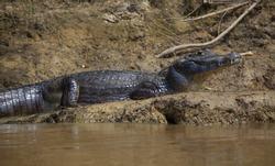 Closeup side on portrait of Black Caiman (Melanosuchus niger) resting on riverbank Pampas del Yacuma, Bolivia.