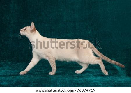 Closeup side profile of head of Tonkinese cat Stock photo ©