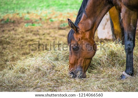 Closeup Side view of Beautiful brown horse  eating grass and hay in meadow and green field in summertime alone #1214066560