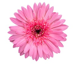 Closeup single pink Gerbera daisy flower isolated on white background with clipping path. Top view. Flat lay. Spring summer concept.