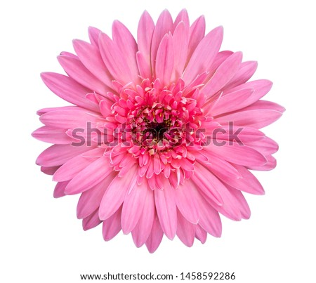 Closeup single pink Gerbera daisy flower isolated on white background with clipping path. Top view. Flat lay. Spring summer concept. #1458592286