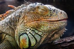 Closeup sleep an iguana face