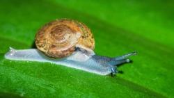 Closeup snail on fresh green leaf