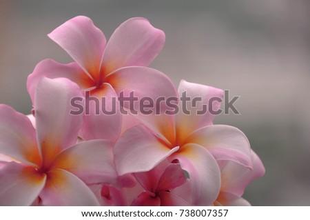 Closeup soft pink plumeria flowers blooming with grey background closeup soft pink plumeria flowers blooming with grey background mightylinksfo