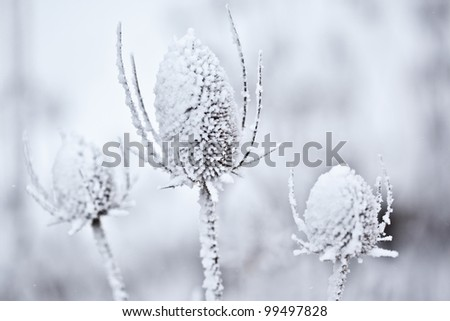Closeup some some snow covered wild teasel against a blurry background.