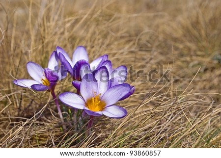 closeup spring flowers in a dry grass - stock photo