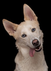 closeup studio portrait of funny happy eskimo dog with blue eyes and big ears with tongue out isolated on black background