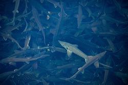 Closeup sturgeon fish farm for breeding. Concept aquaculture pisciculture, top view.
