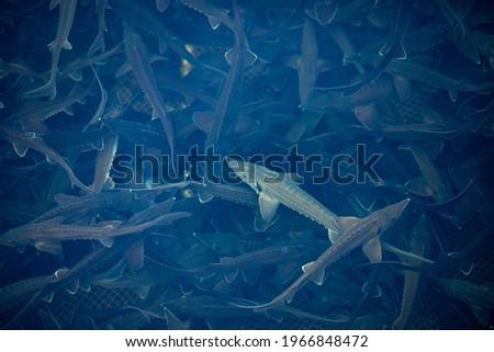 Closeup sturgeon fish farm for breeding. Concept aquaculture pisciculture, top view. Foto d'archivio ©