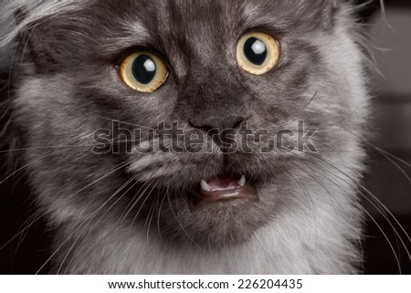Closeup Surprised Maine Coon cat with opened mouth