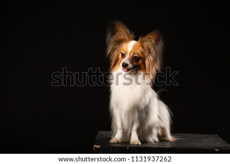 Closeup Surprised White Papillon Dog on black background