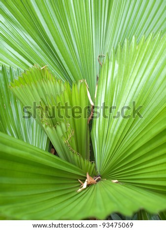 Closeup texture and detail of palm Leaf