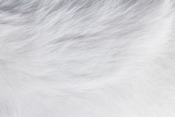 Closeup texture of white cat fur
