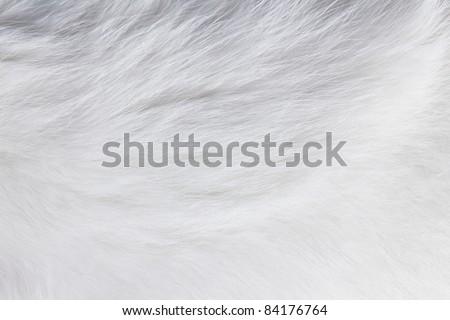 Closeup texture of white cat fur