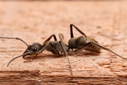 Closeup the big black ant on the wood.