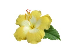 Closeup the single of Yellow Hibiscus flower or Chinese rose, Hawaiian hibiscus, Shoe flower ,Thailand called Cha-Ba with green leaf isolated on white background
