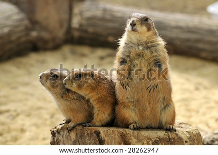 Closeup three Black-tailed Prairie Dogs (Cynomys ludovicianus) on wood trunk