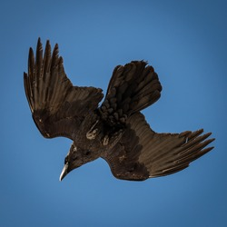 Closeup to a crow flying against a blue sky