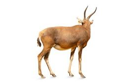 Closeup to A kudu bull or antelope isolated on white background. animal