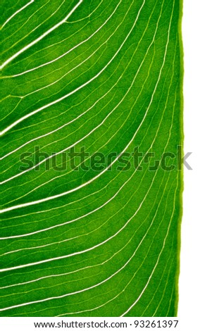 Closeup to calla leaf with bright light coming through showing leaf cells, isolated