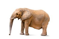 Closeup to female elephant animal isolated on white background