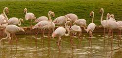Closeup to flamingos birds on nature environment