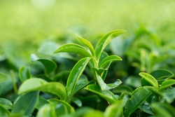 Closeup, Top of Green tea leaf in the morning, tea plantation, blurred background.