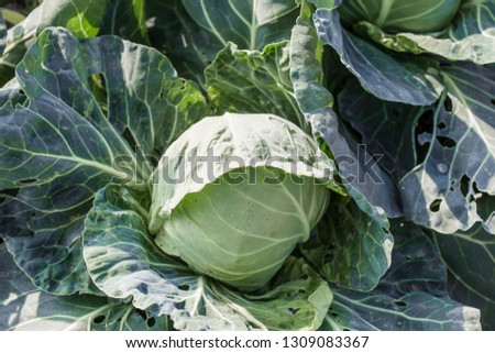 Closeup top view of fresh green cabbage maturing heads growing in vegetable farm, #1309083367