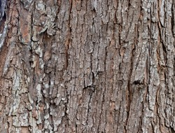 Closeup Tree Bark Texture For Background  , Old Wood Tree background surface  natural pattern
