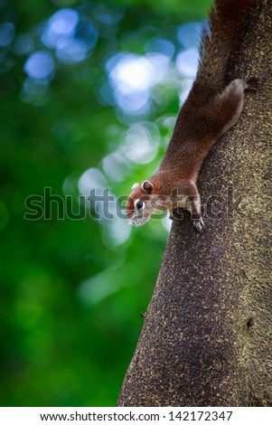 Closeup tree shrew, Small mammals native to the tropical forests