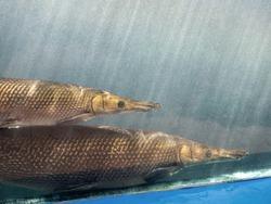 Closeup Two Alligator Gar Fish is Swimming in the Aquarium