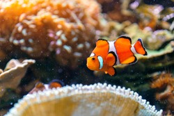 Closeup up clownfish underwater with corals and reef. Aquarium and diving concept.