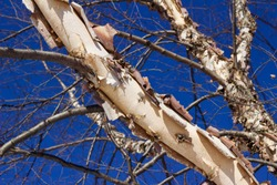 Closeup upward view of attractive torn papery bark on a river birch tree trunk in winter, with blue sky background