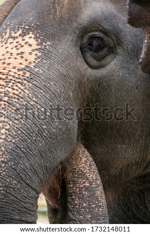 Closeup vertical detail of an Indian elephant (Elephas maximus indicus) feeding itself by using its own trunk. Chonburi, Thailand. Nature and wildlife. Zdjęcia stock ©