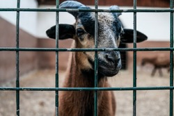 Closeup view: brown goat with horns looking out from a cage. Domestic animal in captivity. Unhappy hungry prisoner in a zoo asking for food. Sad captive goat in a barn behind bars on a livestock farm.