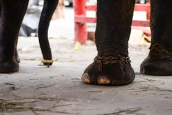 Closeup view leg of Asian elephant in the zoo or farm with leg wearing chained. The abused animal cruelty and agonize concept.