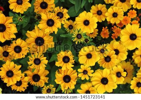 Closeup view of a bush of yellow daisies #1451723141