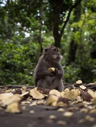 Closeup view of a crab-eating long-tailed macaque Macaca fascicularis ape primate in Ubud Sacred Monkey Forest Bali Indonesia South East Asia